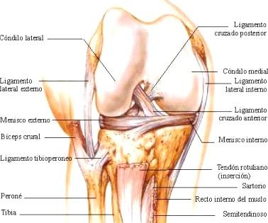 Partes de la rodilla anterior derecha