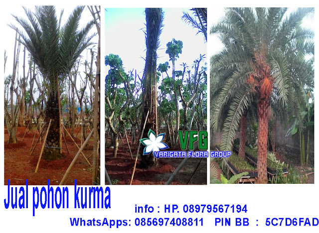 jual palm kurma, tukang pohon palm kurma