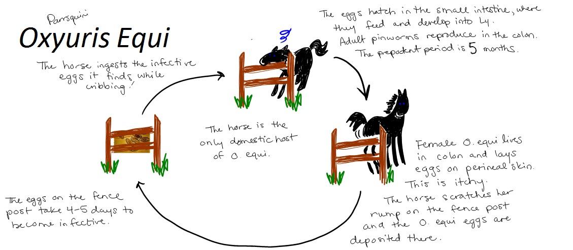 Oxyuris Equi Life Cycle