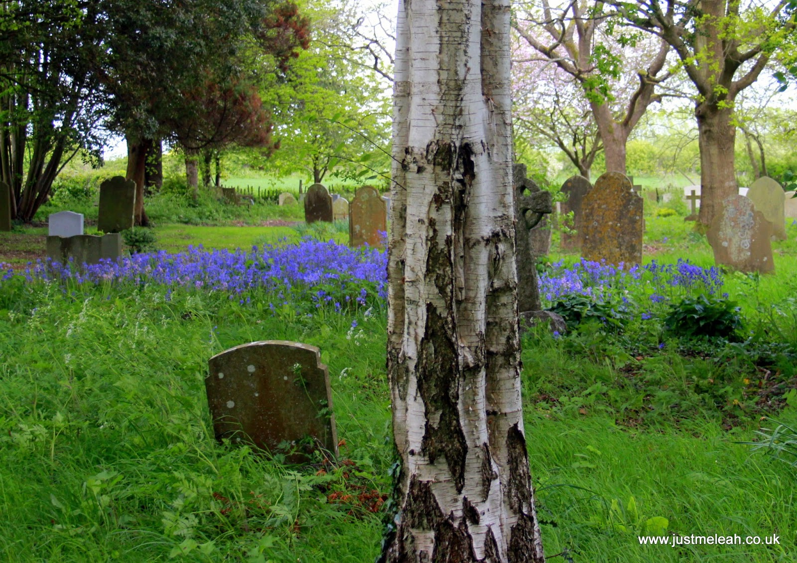 Bluebells in the cemetery