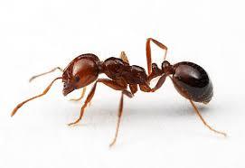 eliminar-las-hormigas-de-fuego