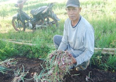 potensi budidaya bawang merah dilahan gambut