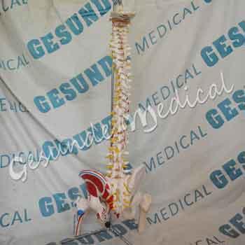 grosir kerangka tulang belakang alat praktik kesehatan