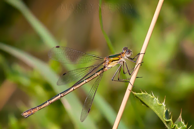 Delicate close up image of a female emerald damselfly clinging to a reed at Ouse Fen