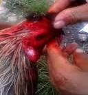 penyebab paruh ayam aduan lepas atau patah