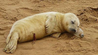 Reino Unido: Hallan una cría de foca durmiendo sobre una botella de plástico