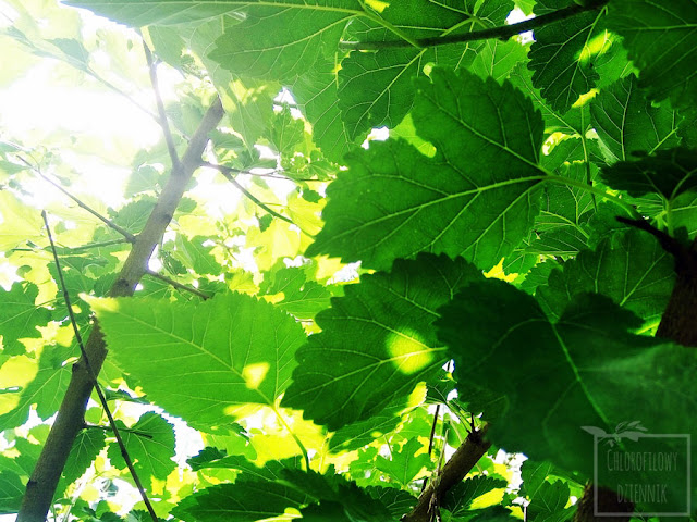 Morwa biała (Morus alba) - opis, uprawa, historia, nazewnictwo, pochodzenie, owoce, kwitnienie, pielęgnacja, stanowisko.