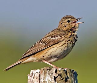 Suara burung tree pipit untuk masteran burung kenari