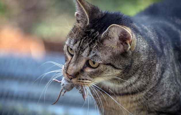 cat eat rat