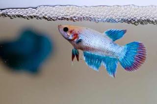 Ikan cupang jantan yang siap kawin