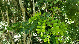 Haematoxylum brasiletto (Brasiletto) tree leaves caribbean bahamas