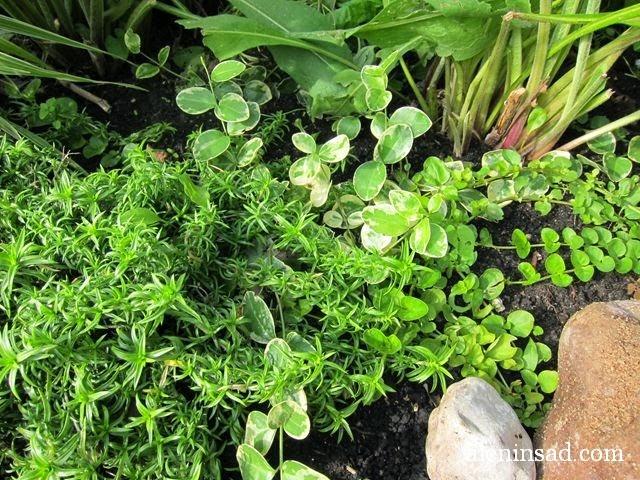 вербейник, монетчатый, барвинок, малый, вариегатная форма, флокс, шиловидный, почвопокровные растения, мульча, алёнин сад