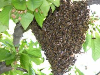 Gros essaim accroché à une branche