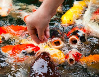 Cara Memelihara Ikan Koi di Kolam Rumah
