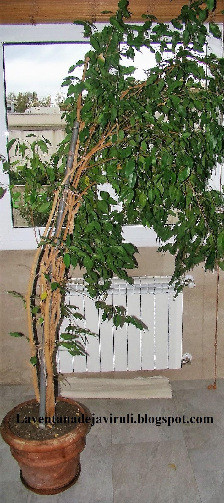 la ventana de javiruli plantas de interior 49 poda de