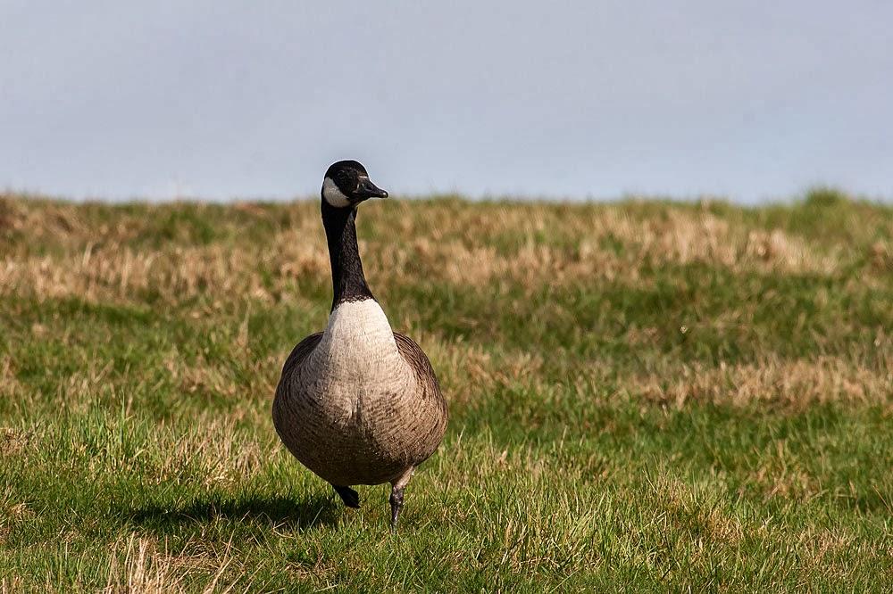 Canada Goose, Lodge Lake, Milton Keynes