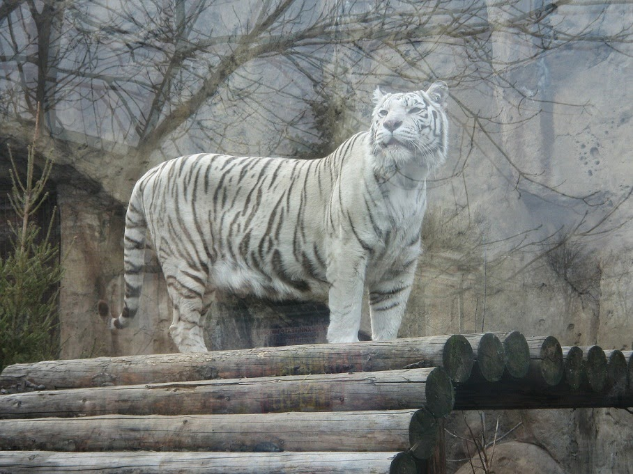 The Majestic Siberian Tiger