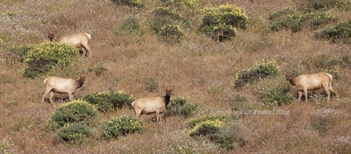 Point Reyes National Seashore Tule Elk