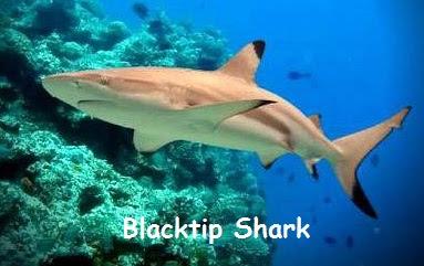gambar ikan hiu sirip hitam