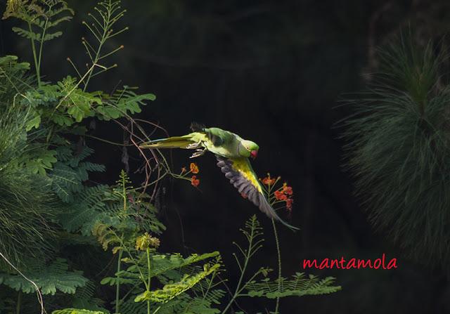 Rose Ring Parakeet