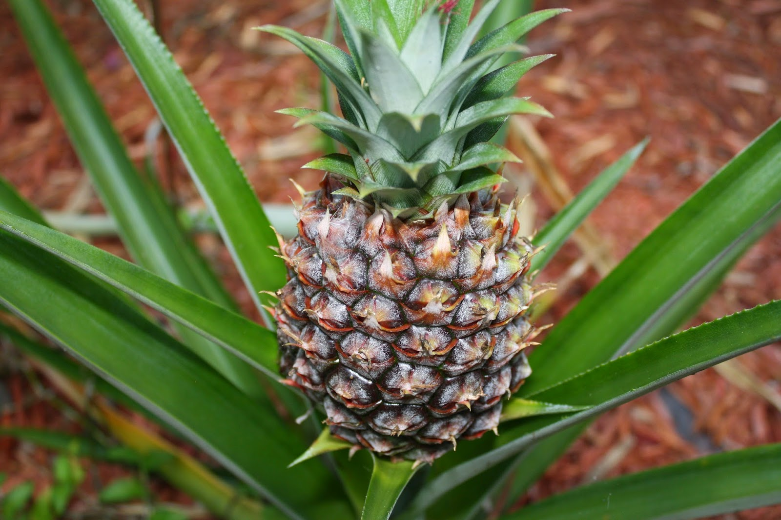 Can You Replant Pineapple