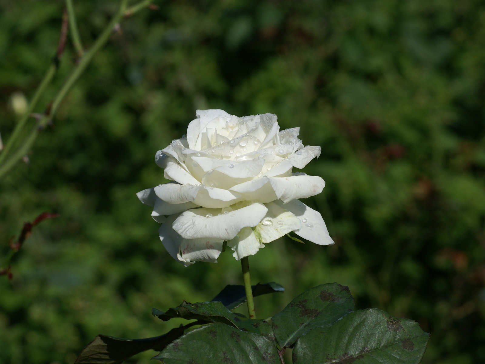 White Rose Flowers Wallpapers: New White Rose Flowers Wallpapers