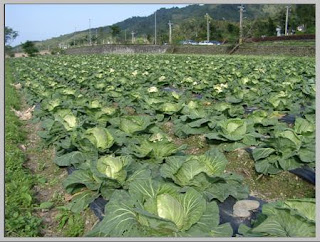 Teknik Meningkatkan Kwalitas Produksi Tanaman Holtikultura Pada kubis