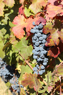 Chile's colourful carmenere grapevines. Photograph by Janie Robinson, Travel Writer