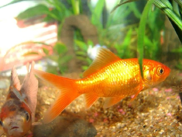 Klasifikasi Morfologi Ikan Mas