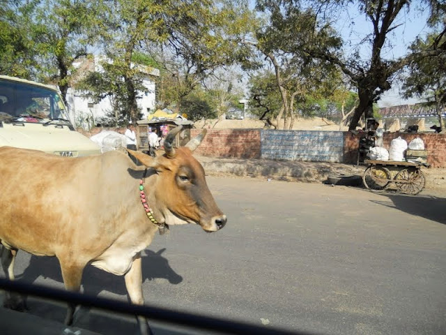 Cow in the road in Hyderabad India