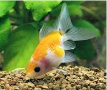 Inilah Jenis Ikan Koki Beserta Gambar Ikan Koki Pearlscale Goldfish