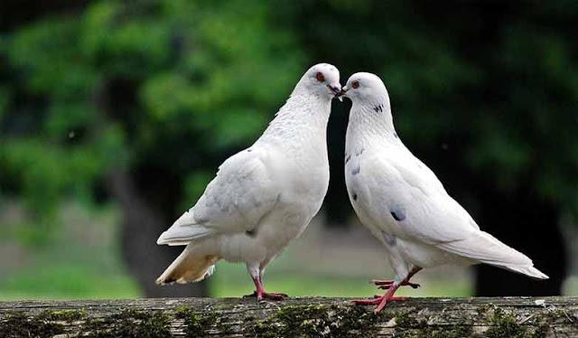 Fakta Nyata Burung Merpati Bisa Mengirim Surat, Aksinya Membuat Heran Banyak Orang