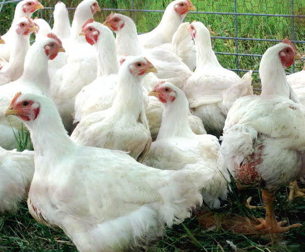 Poultry Farming For Beginners | Modern Farming Methods
