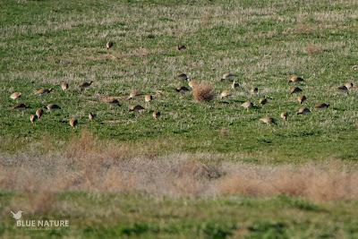 Bando de sisón común - Little bustard flock (Tetrax tetrax)