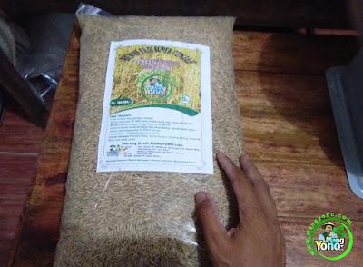 KusPram - Subang, Jabar.   Pembeli Benih Padi TRISAKTI 75 HST Panen   (Sebelum Packing)
