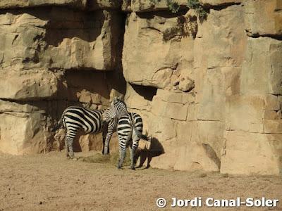 Cebras en Bioparc Valencia