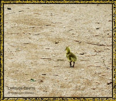 tiny gosling, alone on the road
