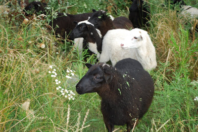 How sheep can benefit your homestead's self-sufficiency.
