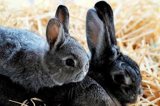 A chinchilla coloured baby rabbit sitting on top of of his black rabbit mum