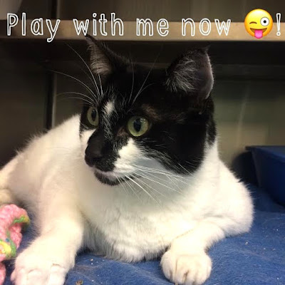 Active and energetic shelter cat ready to play.