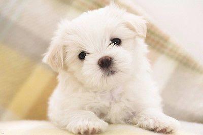 perro malteses gestos faciales