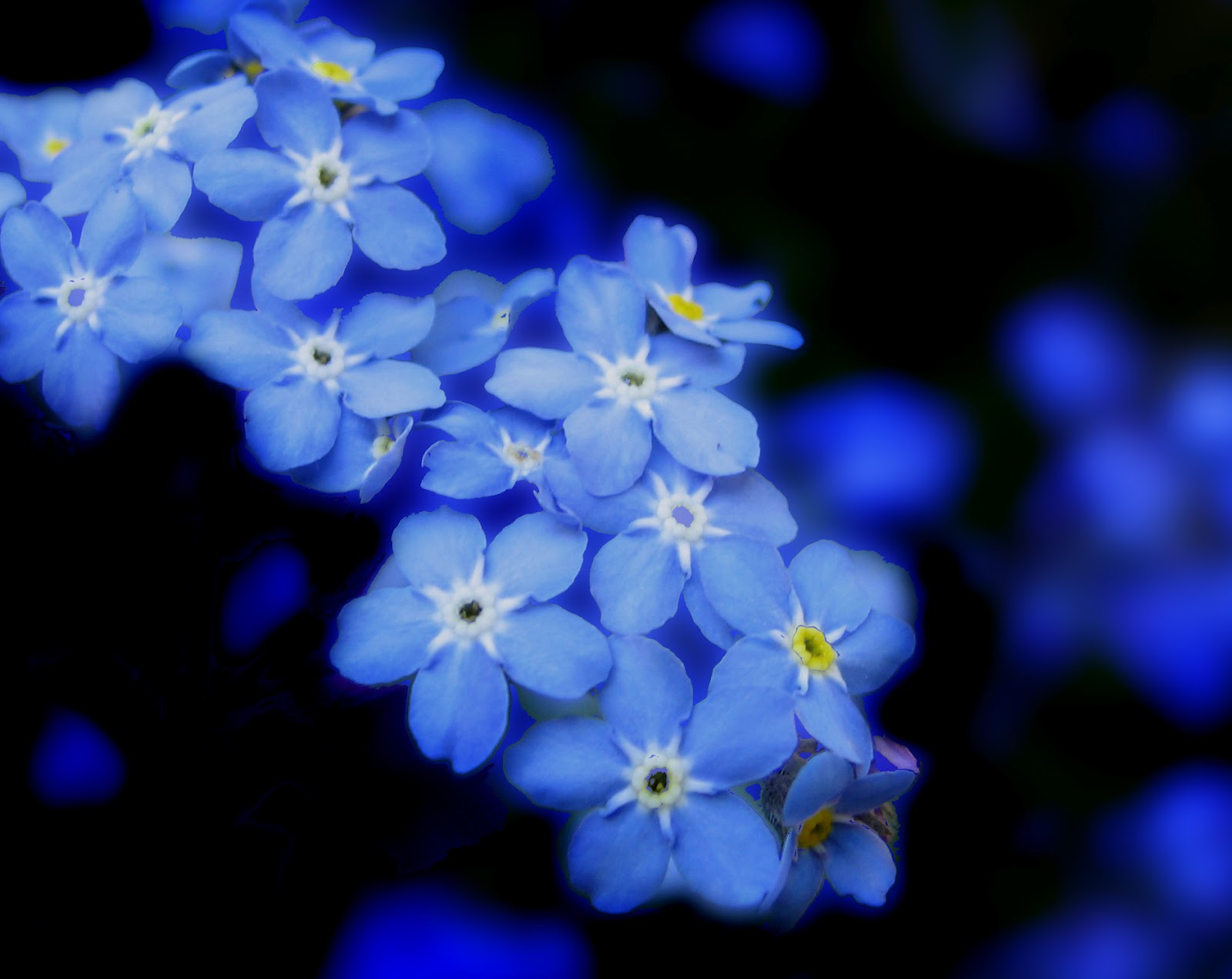 forget me not flowers meaning  flower, Natural flower