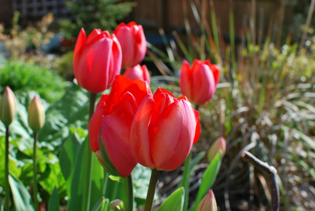 A Cardiff Garden In April red tulips