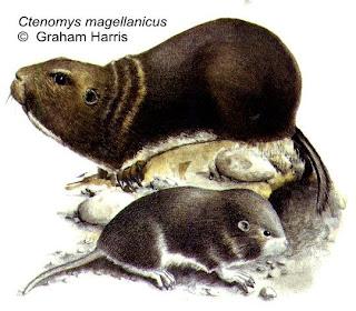 Magellanic Tucotuco
