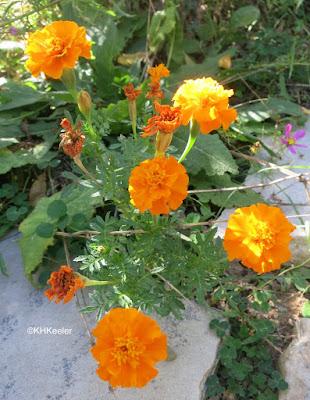 marigold, Tagetes