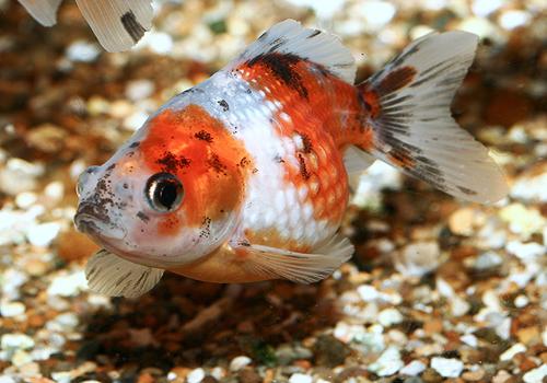 Merawat Ikan Mas Koki