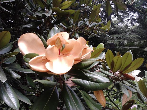 Garden Care Simplified Close Of Huge Magnolia Flowers Tree In Roerich Art Himanchal