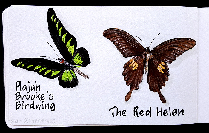 one black brown butterfly with a bright yellow green design called Rajah Brooke's Birdwing. Also, a dark brown butterfly with some yellowish markings on the lower wings. This one is called The Red Helen