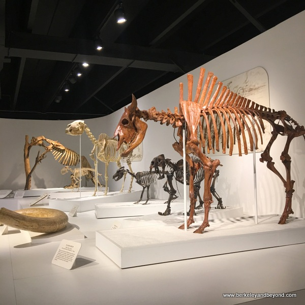 dinosaur skeletons at Panhandle-Plains Historical Museum in Canyon, Texas