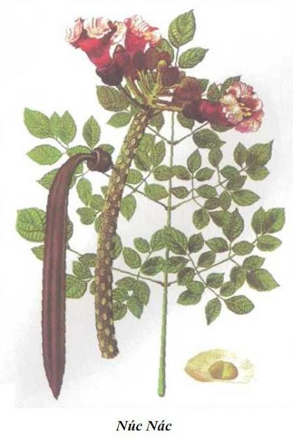 NÚC NÁC - Oroxylum indicum - Nguyên liệu làm thuốc Chữa Ho Hen
